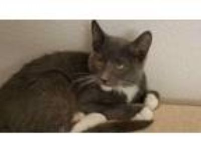 Adopt Willie a Gray, Blue or Silver Tabby American Shorthair (short coat) cat in