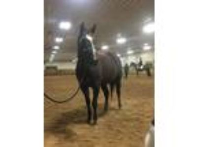 Adopt Hannah a Quarterhorse, Thoroughbred