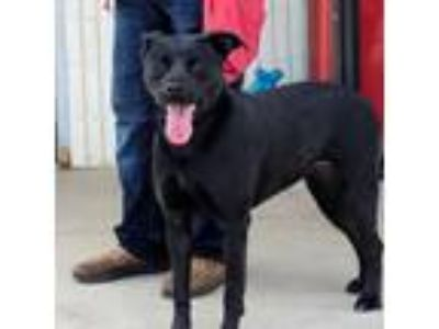 Adopt Kelsie a Black Labrador Retriever dog in Fort Smith, AR (22847568)