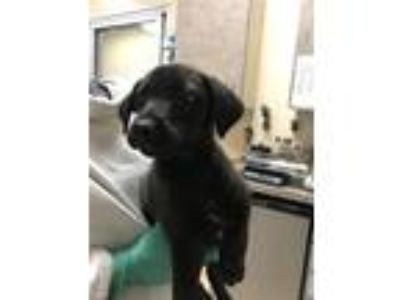 Adopt Theon a Labrador Retriever / Shepherd (Unknown Type) / Mixed dog in