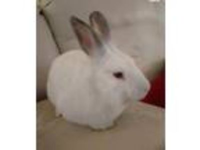 Adopt Scotch a Californian / Mixed (short coat) rabbit in Baton Rouge