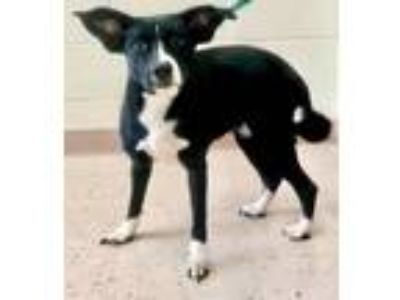 Adopt Demi a Border Collie