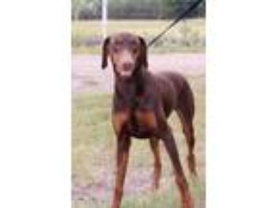 Adopt Barbie a Doberman Pinscher