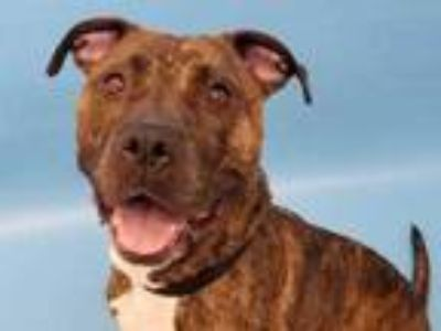 Adopt Spring a Brindle American Pit Bull Terrier / Mixed dog in Woodbury