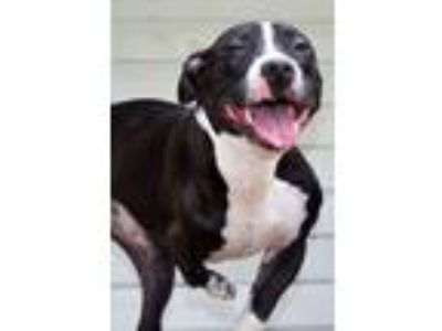 Adopt Stubbs a Pit Bull Terrier