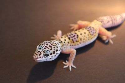 Baby Leopard Gecko Hatched 4-2-18