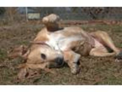 Adopt Amelia a Tan/Yellow/Fawn - with White Mixed Breed (Medium) / Mountain Cur