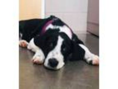 Adopt Kelly a English Pointer, Border Collie