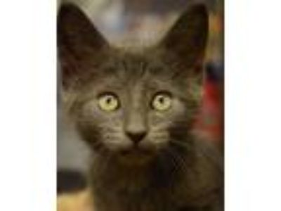 Adopt Aquarius - NORTH CONROE PETSMART a Russian Blue