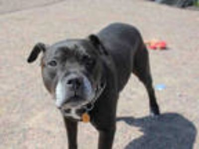Adopt BUSTER BROWN a Black - with White Boxer / Mixed dog in Brighton