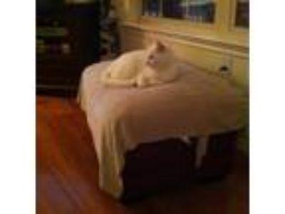 Adopt Boo a White Domestic Mediumhair / Mixed cat in Midland, TX (24298433)