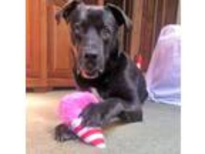 Adopt ROB Happy & Goofy-URGENT FOSTER HOME NEEDED a Black - with White Labrador