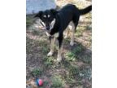 Adopt Rue a Black - with Tan, Yellow or Fawn German Shepherd Dog / Mixed dog in