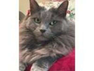 Adopt Princess a Domestic Long Hair