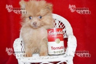 Pomeranian PUPPY FOR SALE ADN-101053 - AKC TCUP FULL REGISTRATION