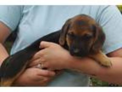 Adopt Lyra a Black - with Tan, Yellow or Fawn Basset Hound / German Shepherd Dog