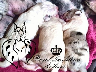 Great Dane PUPPY FOR SALE ADN-62340 - Great Dane