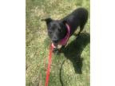 Adopt GRACIE a Black - with Gray or Silver Labrador Retriever / German Shepherd