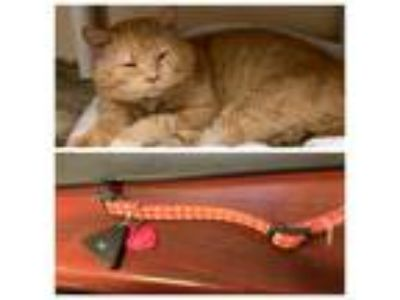 Adopt RYLEE a Orange or Red Domestic Shorthair / Mixed (short coat) cat in