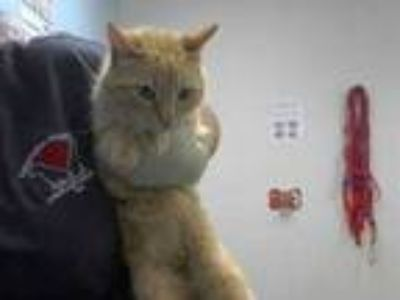 Adopt Troy a Orange or Red Domestic Mediumhair / Domestic Shorthair / Mixed cat