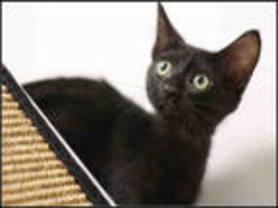 Adopt SPARROW a All Black Domestic Shorthair / Mixed (short coat) cat in Plano