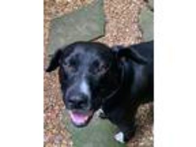 Adopt Mills a Black Labrador Retriever, Beagle