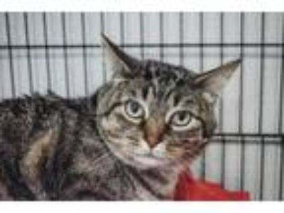 Adopt Rip Rap a Domestic Short Hair