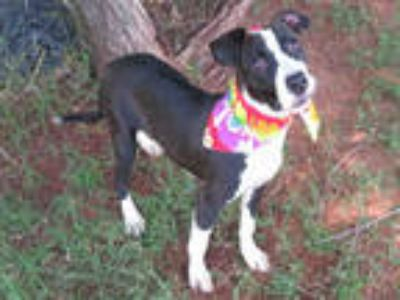Adopt a Black - with White Labrador Retriever / Mixed dog in Oklahoma City