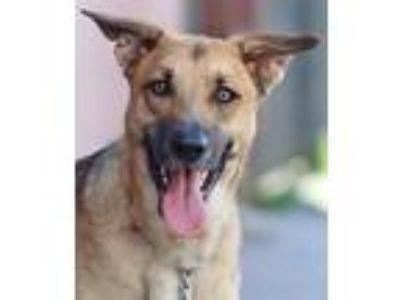 Adopt Noah von Fresno a Tan/Yellow/Fawn - with Black German Shepherd Dog / Mixed