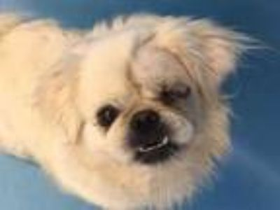 Adopt Miss Piggy a White Pekingese / Mixed dog in Woodbury, MN (25269395)