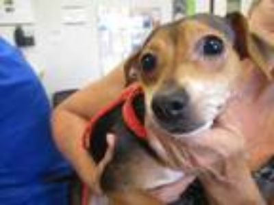 Adopt Sweet Thang a Black Rat Terrier / Mixed dog in Irving, TX (25748499)