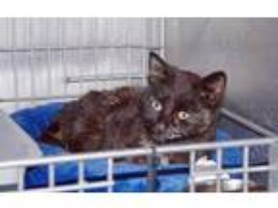 Adopt Chevy a Domestic Shorthair / Mixed (short coat) cat in Ladysmith