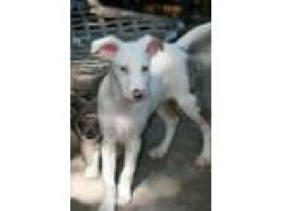 Adopt Bouillon a Australian Shepherd, Mixed Breed