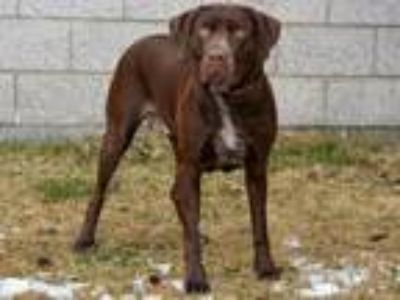 Adopt COCO a Labrador Retriever, German Shorthaired Pointer