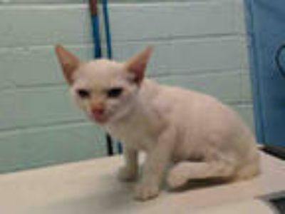Adopt LANNY a White (Mostly) Domestic Shorthair / Mixed (short coat) cat in