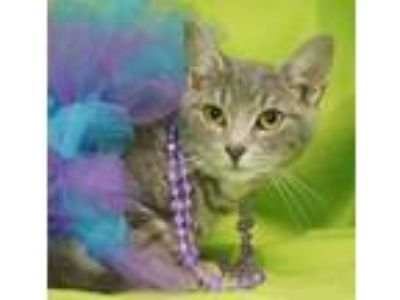 Adopt Storm a Domestic Short Hair, Tiger