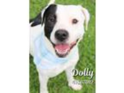 Adopt Dolly a White American Pit Bull Terrier / Mixed dog in Gulfport