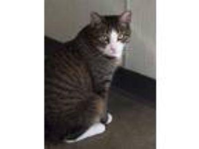 Adopt Max a American Shorthair, Exotic Shorthair