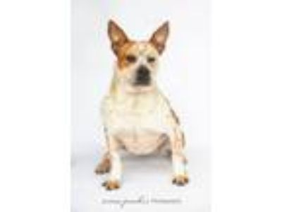 Adopt Emilee a Cattle Dog