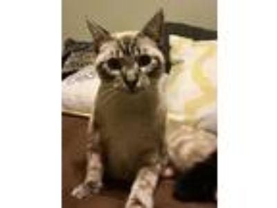 Adopt Twinkie a Siamese cat in Dallas, TX (23779300)