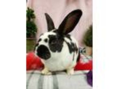 Adopt Momo a Black Other/Unknown / Other/Unknown / Mixed rabbit in Corvallis