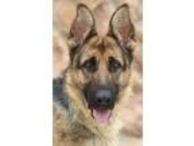 Adopt Lina von Lindow a Black - with Tan, Yellow or Fawn German Shepherd Dog /