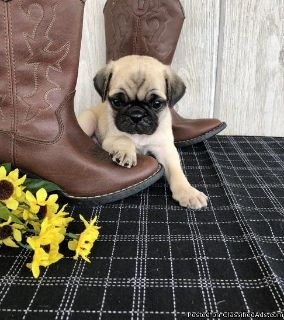 Trained Looking Fawn Pug Puppies For Sale