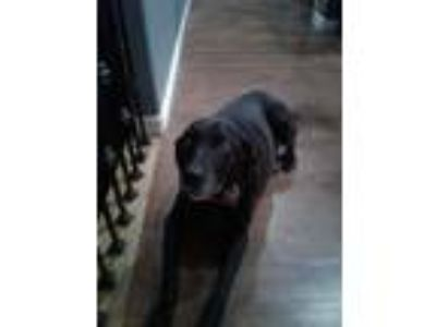 Adopt Iggy a Black - with White Labrador Retriever / Chow Chow / Mixed dog in