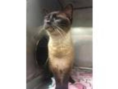 Adopt ChatterBox a Brown or Chocolate Siamese / Mixed cat in Salina