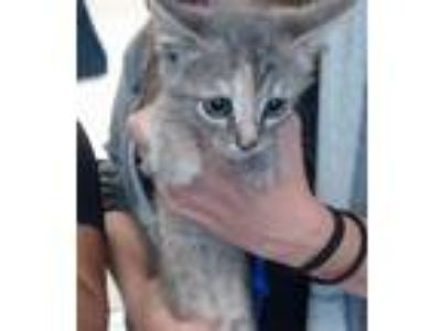 Adopt a Tortoiseshell Domestic Shorthair / Mixed (short coat) cat in Pasadena
