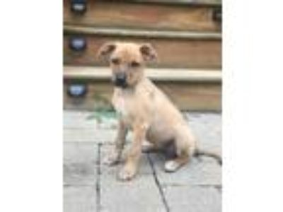 Adopt Alice a Tan/Yellow/Fawn Terrier (Unknown Type, Medium) / Labrador
