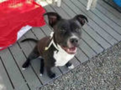 Adopt STEFFIE a Black - with White American Pit Bull Terrier / Mixed dog in