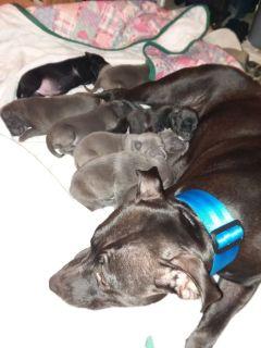 Pitbull puppys... Gater, Gotty, Bully an Blue pits