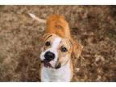 Adopt Cutty a Labrador Retriever / Mixed dog in Rossville, TN (21206580)